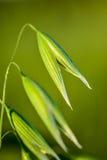 在宏指令的麦子 免版税图库摄影