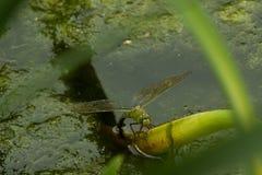 在宏指令的蜻蜓 免版税库存照片
