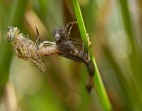 在宏指令的蜻蜓 库存图片