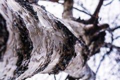 在宏观摄影的桦树 自然在铁克利 免版税库存照片