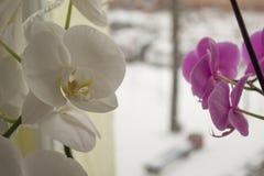 在宏观照片的新鲜的兰花 免版税库存照片