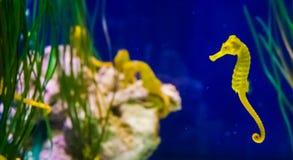 在宏观特写镜头的共同的黄色出海口海马与在背景海洋生物鱼画象的海象家庭 库存照片