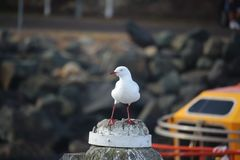 在定向塔宽射击的海鸥 免版税图库摄影