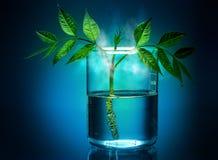 在实验室是人为的长大的植物。 库存图片