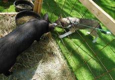 在宠爱农厂鼻子的黑猪引导与狗 免版税图库摄影