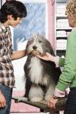 在宠物修饰沙龙的护羊狗 图库摄影