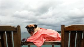在宠物基于海滩睡椅的哈巴狗狗的特写镜头由海在多云与大衣裳 影视素材