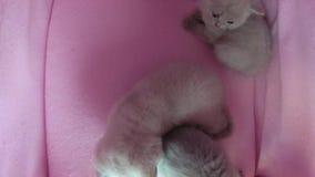 在宠物帐篷的猫戏剧 影视素材