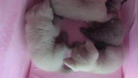 在宠物帐篷的猫戏剧 股票录像