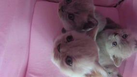 在宠物帐篷的猫戏剧 股票视频