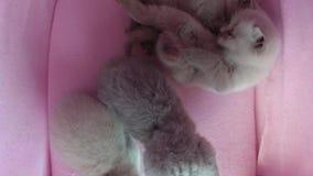 在宠物帐篷的猫睡眠 股票录像