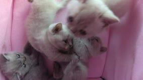 在宠物帐篷的猫睡眠 股票视频