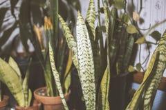 在客厅里面的蛇植物 库存照片