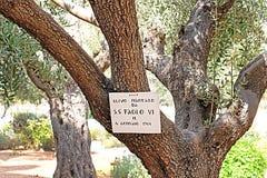 在客西马尼园的橄榄树由保禄六世种植了,当参观1964年耶路撒冷,以色列时 库存图片