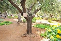 在客西马尼园的橄榄树由保禄六世种植了,当参观1964年耶路撒冷,以色列时 图库摄影