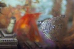 在室内个人水族馆的分开的普通的Scalare个体 库存图片