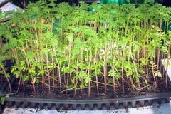 在室外庭院发芽在花盆的树种植的在土壤 免版税库存照片