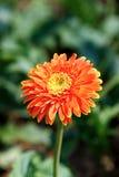 在室外庭院的美丽的大丁草花 免版税库存图片