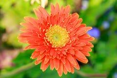 在室外庭院的美丽的大丁草花 库存照片