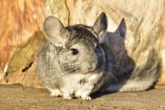 在室外木的背景的灰色黄鼠 库存图片