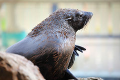 在室外的海狮 库存照片
