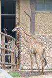 在室长颈鹿camelopardalis 库存图片