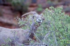 在宰恩国家公园的大角野绵羊 库存图片