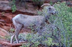 在宰恩国家公园的大角野绵羊 免版税库存图片
