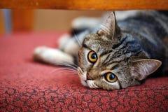 在家休息良种交配动物者的猫 库存照片