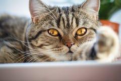 在家休息良种交配动物者的猫 免版税库存图片