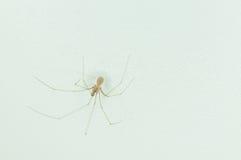 在家关闭在白色墙壁上的蜘蛛 图库摄影