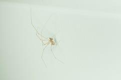 在家关闭在白色墙壁上的蜘蛛 免版税图库摄影