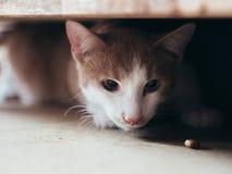 在家具下的年轻猫狩猎食物 库存照片
