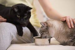 在家喂养两只猫的无法认出的妇女 免版税库存照片