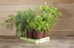 在家增长的辣盆的植物 免版税库存图片