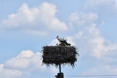 在家庭巢的小的鹳由母亲关心 库存图片