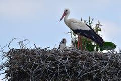 在家庭巢的小的鹳由母亲关心 库存照片