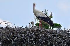 在家庭巢的小的鹳由母亲关心 免版税库存照片