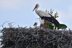 在家庭巢的小的鹳由母亲关心 图库摄影