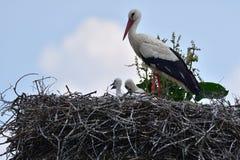 在家庭巢的小的鹳由母亲关心 免版税库存图片