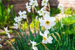 在家庭床上的黄水仙 关闭白花 库存图片