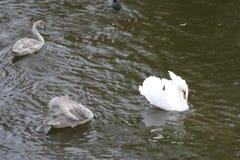在家庭的幼小天鹅在河水 库存图片