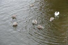 在家庭的幼小天鹅在河水 库存照片