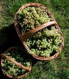 在家庭菜园收集的葡萄 库存照片