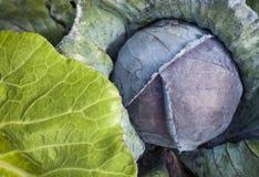 在家庭菜园的绿色和红叶卷心菜 免版税图库摄影