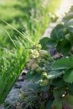 在家庭菜园的绿色草莓 免版税库存图片