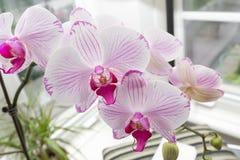 在家庭菜园里面的新鲜的美丽的兰花花 图库摄影