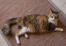 在家放松在地毯的三种颜色猫 在地板上的大严肃的猫,查寻 免版税图库摄影