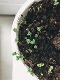 在家生长蓬蒿的过程在罐 发芽了蓬蒿绿色新鲜的植物从地面的在罐在窗口在家 免版税库存照片