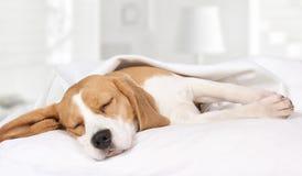 在家睡觉在床上的小猎犬狗 免版税库存照片
